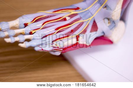 Foot Medical Anatomy Model