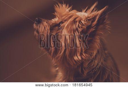Australian Silky Terrier Portrait. Adult Dog Listening His Owner Awaiting Command.