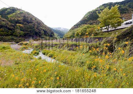 Wild yellow flowers by Uno River in Kameoka Japan, Kyoto
