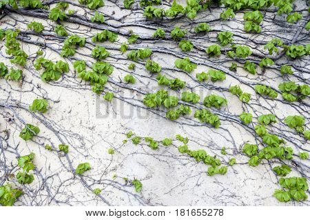 Green Ivy or Hedera creeping on wall