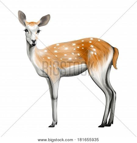 Young sika deer isolated on white background