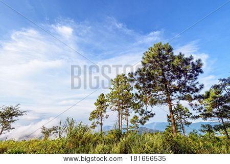 Khasiya pine or Pinus kesiya green trees and fog on blue sky background beautiful natural landscape of mountain range in the winter at Phu Chi Fa Forest Park Chiang Rai Province Thailand