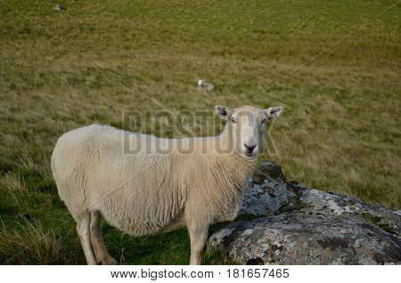 Wooly sheep standing in a field at Neist Point on the Isle of Skye.