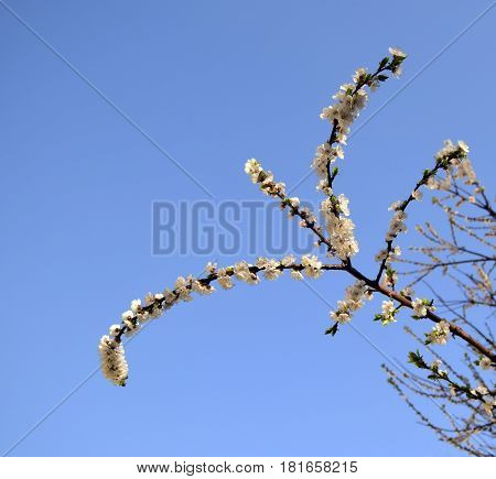 The apricot blossoms. Pink gentle flowers of an apricot are against the background of the blue sky