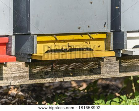 Honey bees in spring flying  In and Out of Their Yellow Beehive