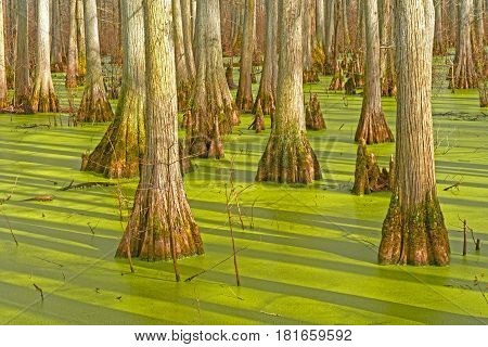 Trunk Details in a Cypress Swamp in Heron Pond in the Cache River Natural Area in Illinois