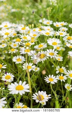 Wild chamomile flowers and grass on a field