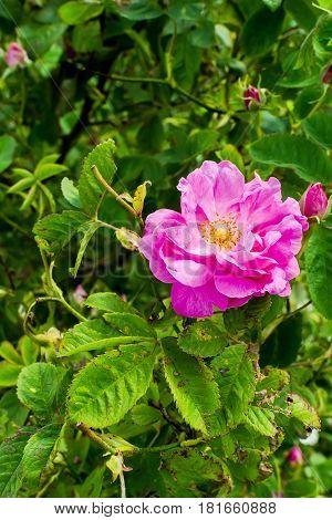 Bulgarian Damascena Rose