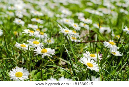 Spring horse daisies flower in the meadow