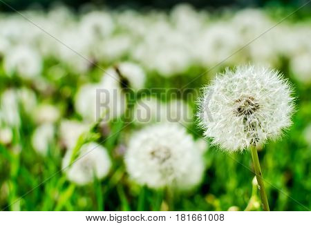 Field of dandelions flowers - close up
