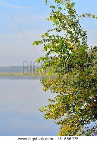 Birch tree and lake water in Karelian Isthmus Russia.