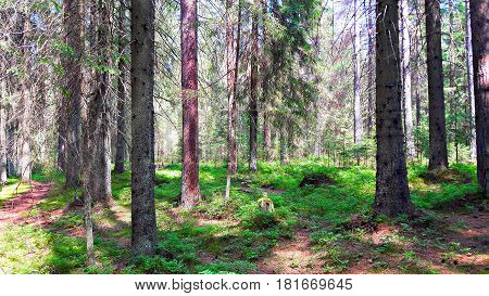 Spruce forest in the summer. The old trunks of large fir trees on a background of green grass and the passing away of coniferous forest.
