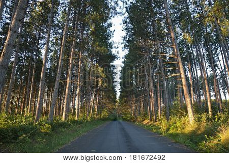 Tall pines and a road in early morning light in northern Minnesota