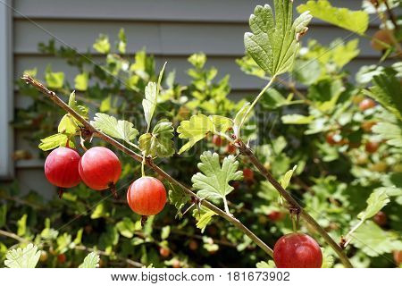 Ripe red gooseberries (Ribes uva-crispa) on a gooseberry bush in a garden in Joliet, Illinois during July.