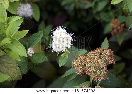 The inflorescence of a Japanese spiraea (Spiraea japonica) plant blooms in a flower garden in Joliet, Illinois during July.