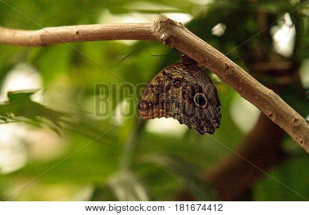 Giant owl butterfly Caligo memnon in a botanical garden in spring