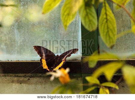 Golden birdwing butterfly Troides aeacus in a botanical garden in spring