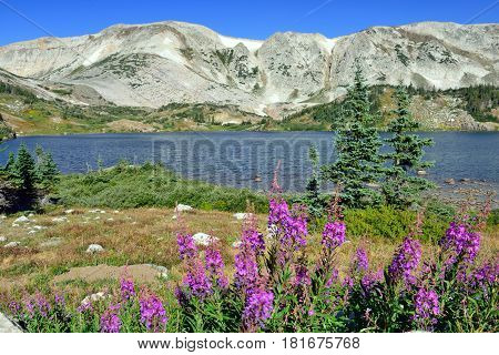 Alpine Flowers In Front Of The Medicine Bow Mountains Of Wyoming