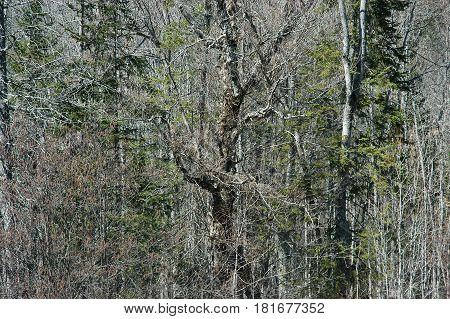 trees pine sticks  grey blend camouflage bush