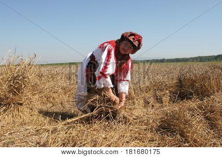 DAVOR, CROATIA - JUNE 26: Peasant woman harvesting wheat with scythe in wheat fields in Davor, Slavonia, Croatia on June 26, 2010.