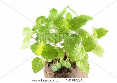 Green fresh melissa leaves isolated on white background. Young plants of common balm (Melissa officinalis)