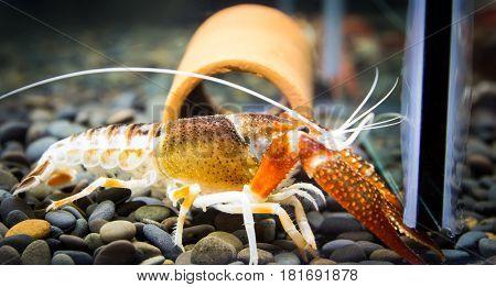 Close up of crayfish in aquariums background