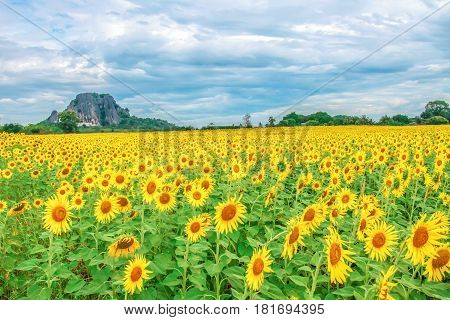 Sunflowers blooming against a bright sky Unseen Thailand flowers