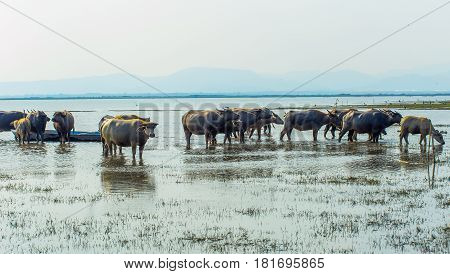 water buffalo relaxes in the lake in the indian village