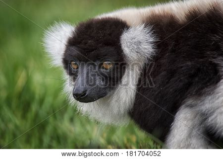 Close up portrait of a black and white ruffed lemur staring to the left in a natural setting