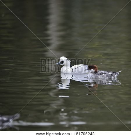 Beautiful Portrait Of Smew Duck Bird Megellus Albellus On Water In Spring