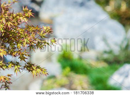 Japanese Acer Tree