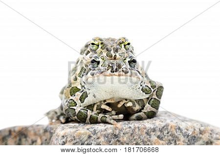 Pairing of green toads isolated on white background
