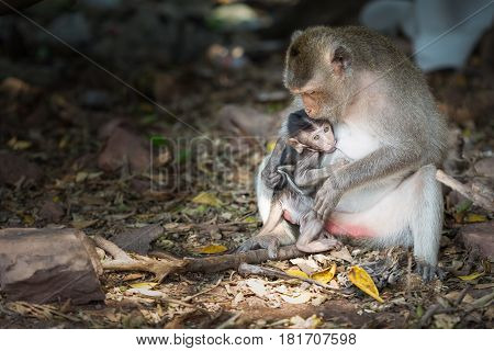 Baby monkey suckling from him mother. love.