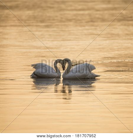 Beautiful Mated Pair Of Mute Swans In Classic Heart Shaped Pose On Lake In Winter
