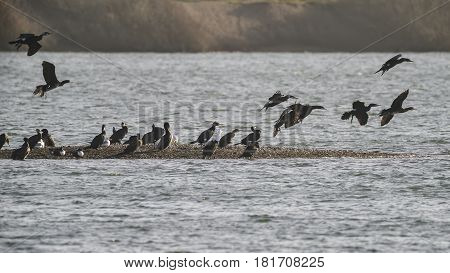 Flock Of Cormorant Shag Birds Flying Over Lake In Winter From Sand Bar