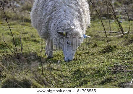 Sheep With Long Coat Grazing On Long Grass In Winter Field
