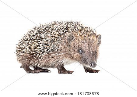 Portrait of a curious little hedgehog isolated on white background