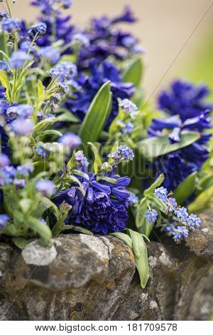 Close Up Of Beautiful Colorful Bluebells And Forget-me-not Flowers In Flower Pot
