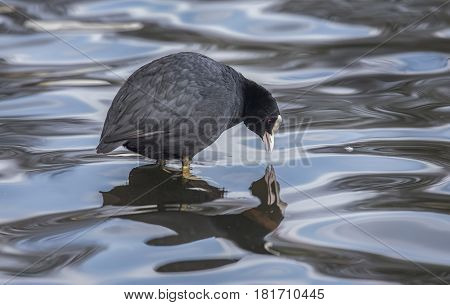 A Coot, Fulica, Standing In A Loch, Looking At Its Reflection