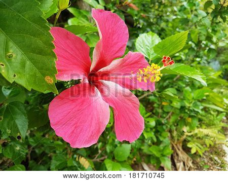 Hot pink hibiscus flower,Beautiful flower in Thailand.