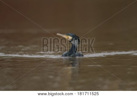 Cormorant swimming on a pond, in Scotland