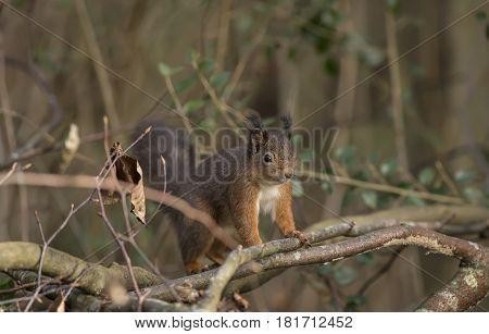 Red Squirrel, Sciurus Vulgaris, Standing On Some Branches
