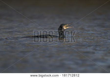Cormorant Eating A Fish On A Pond
