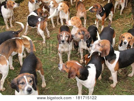 A Group of Hunting Hounds Resting in a Pen.