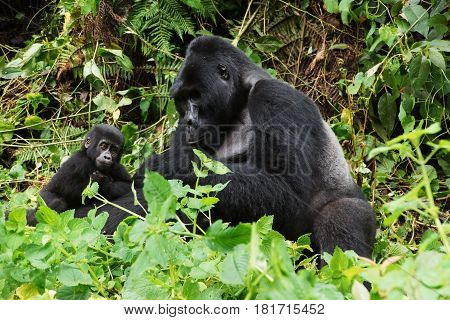 an old gorilla cold silverback with a small and young gorilla are sitting during a rainforest in Uganda