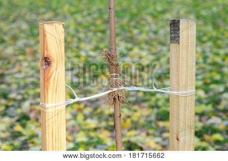 Planting a Trees Correctly with Two Stakes