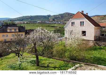 Village of Weissenkirchen in der Wachau with flowering fruit trees in foreground. Wachau-valley, district of Krems-Land, Lower Austria.