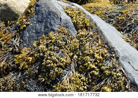 Bladderwrack, also known as Rockweed, shown growing on rocks which have been exposed during low tide; a type of edible seaweed.