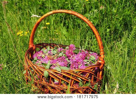 Red clover in the basket. Gather Herbs for Herbal Medicine. Herbal Plants. It is an ingredient in some recipes for essiac tea herbal tea