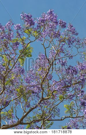 Looking up into the branches of a Jacaranda tree covered in mauve flowers and bright green new leaf growth.